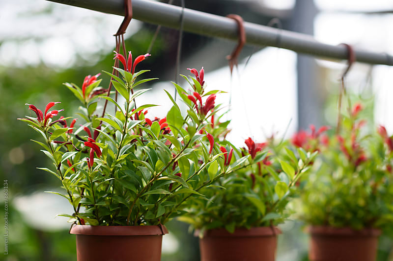 Red flower plant hanging in greenhouse by Lawren Lu for Stocksy United