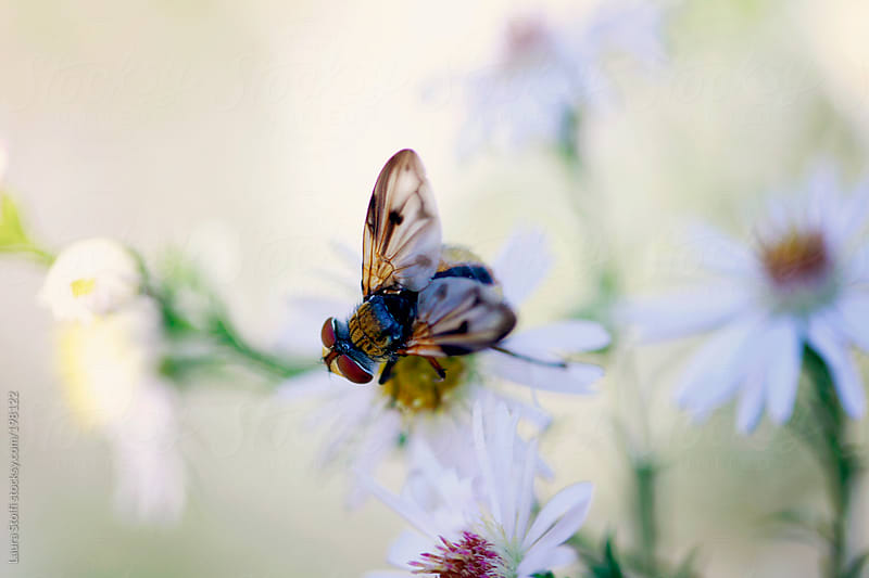 Macro catch of fly perching on white Aster flower in garden by Laura Stolfi for Stocksy United