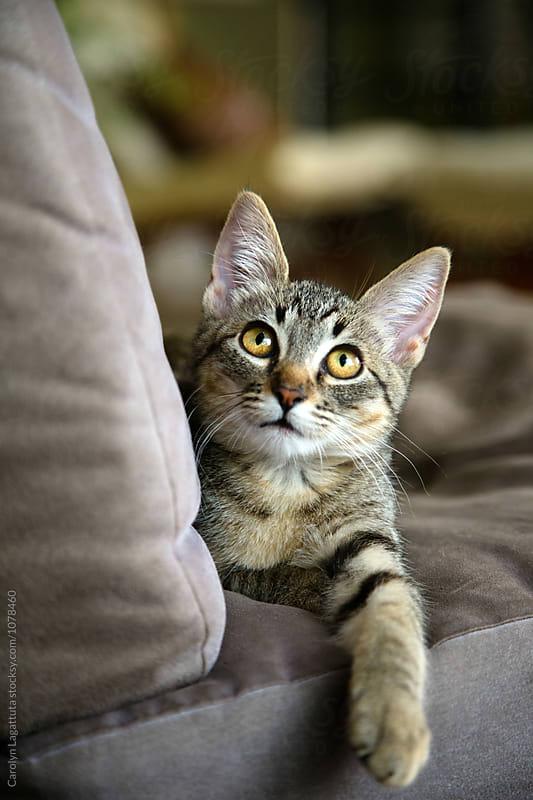 Adorable tabby kitten with amber eyes looking upward by Carolyn Lagattuta for Stocksy United