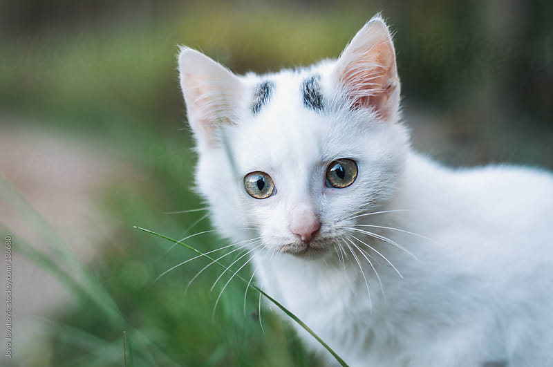 Beautiful white stray cat looking at the camera. by Jovo Jovanovic for Stocksy United