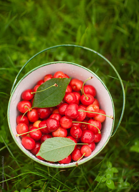 Sweet cherries in a bucket. by Mosuno for Stocksy United