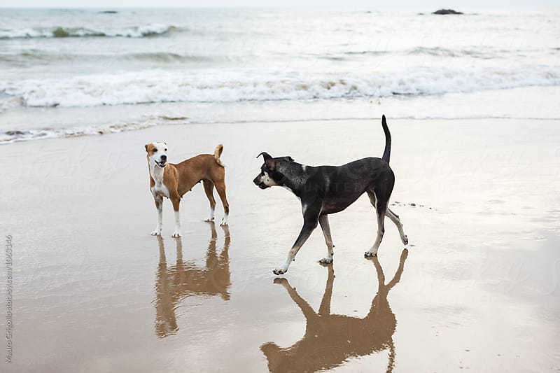 Dogs on the beach by Mauro Grigollo for Stocksy United