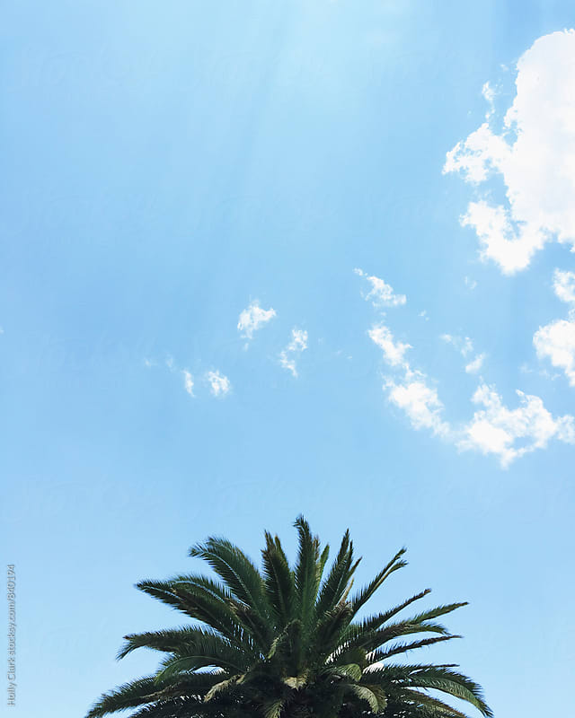 The top of a palm tree against a blue sky by Holly Clark for Stocksy United
