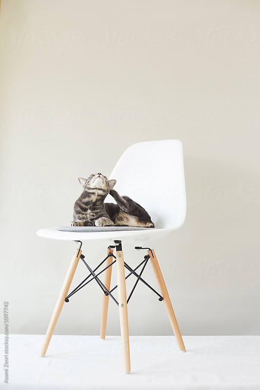 Cat on chair by Asami Zenri for Stocksy United