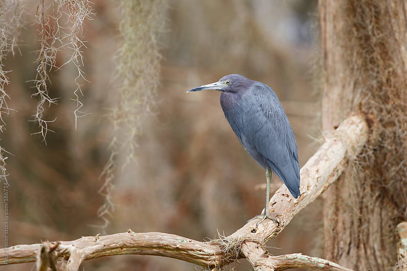 Little Blue Heron by Paul Tessier for Stocksy United