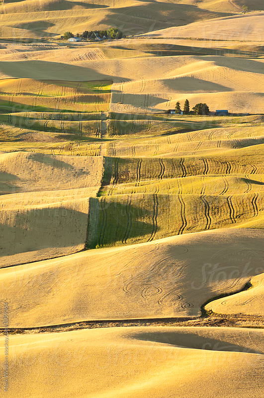 Palouse summer wheat by Mark Windom for Stocksy United