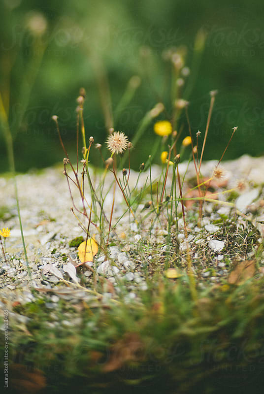 Wild flowers growing on stone pavement blurred sight by Laura Stolfi for Stocksy United