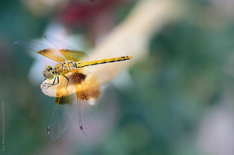 Yellow Dragonfly by Julie Rideout for Stocksy United