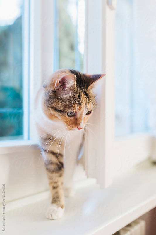 Tabby cat enters the house through open window by Laura Stolfi for Stocksy United