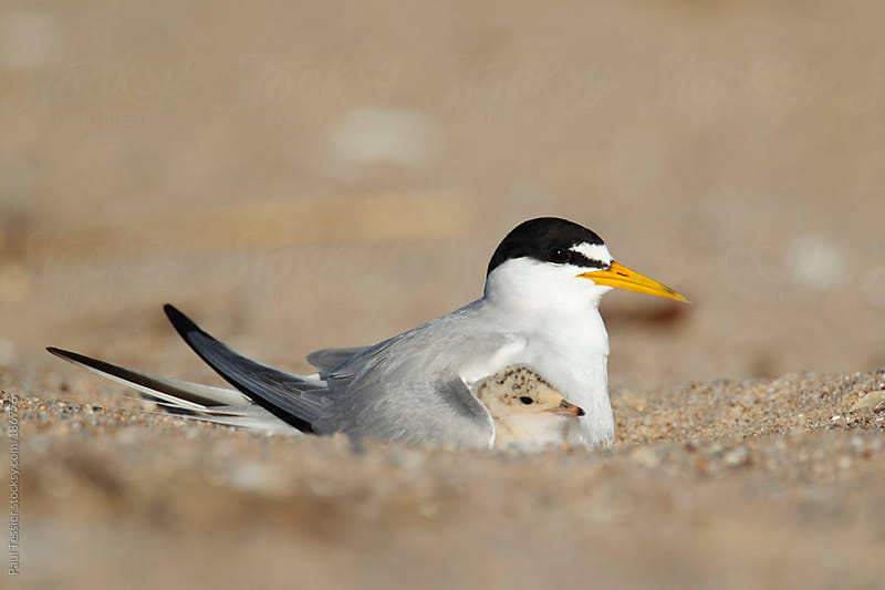 Tern and Chick by Paul Tessier for Stocksy United