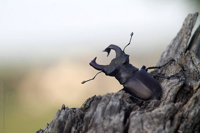 Stag Beetle rotten tree trunk by Babett Lupaneszku for Stocksy United