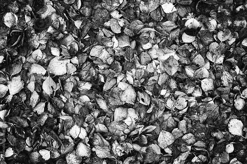 Fallen leaves in high contrast b&w by Marcel for Stocksy United