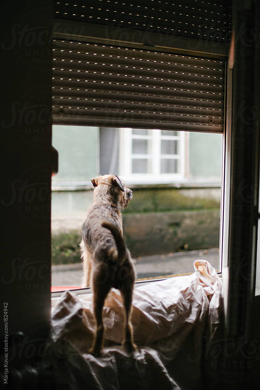 Dog looking through the window, from behind - vertical by Marija Kovac for Stocksy United