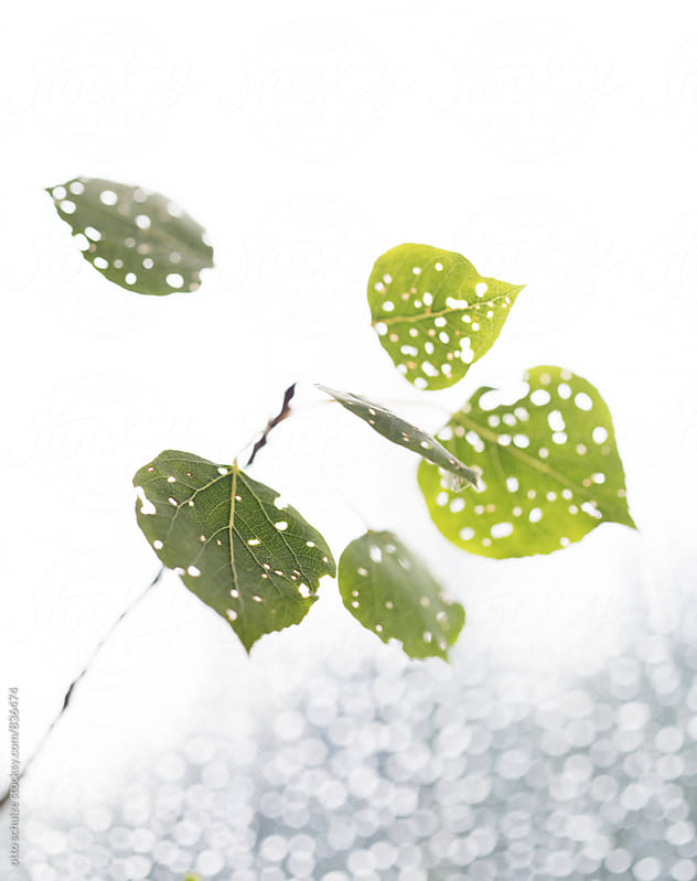 aspen leaves with light breaking through by otto schulze for Stocksy United