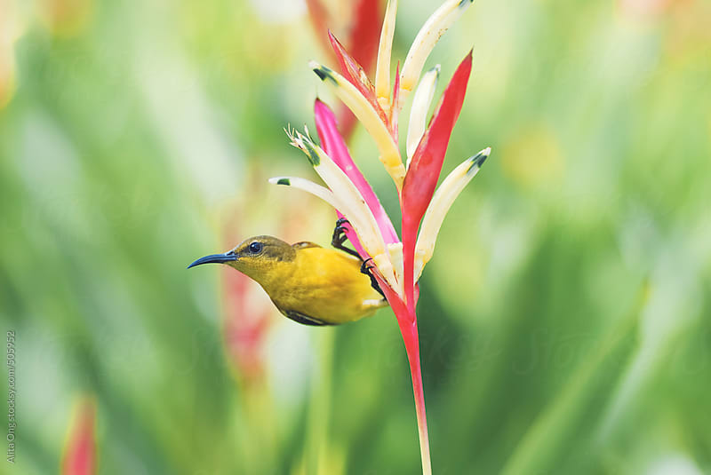 Female olive-backed sunbird by Alita Ong for Stocksy United