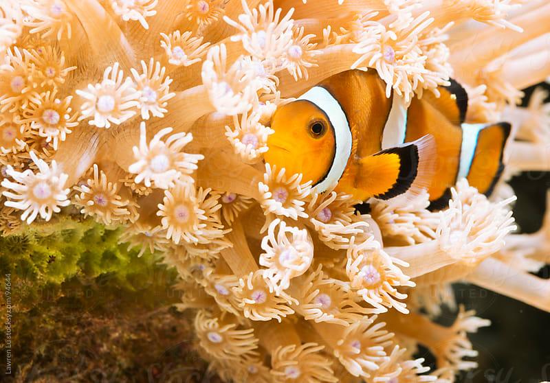 Clown fish swiming near sea anemone by Lawren Lu for Stocksy United