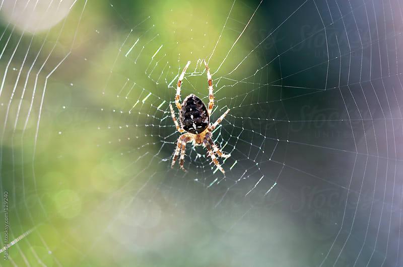 Backlit european garden spider in web by Marcel for Stocksy United