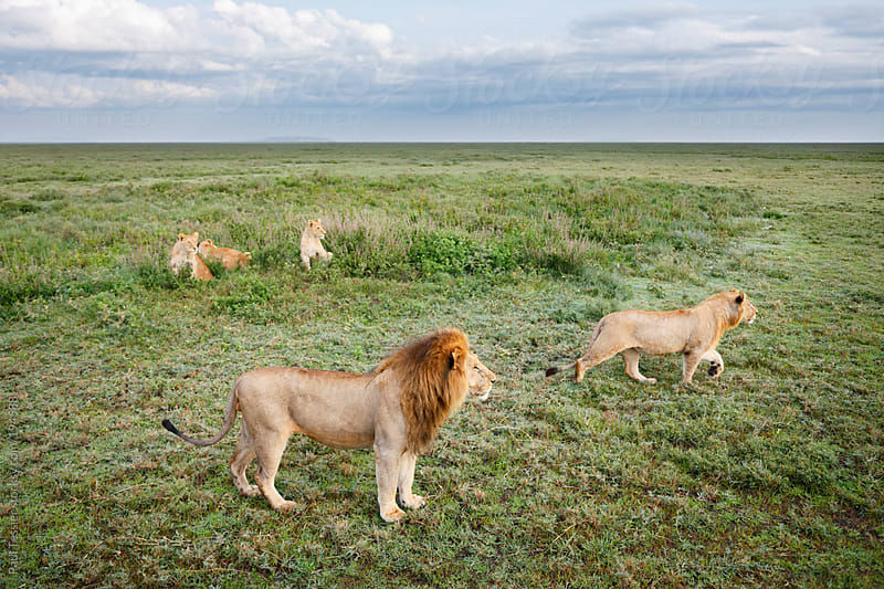 Pride of Lions on the Serengeti Pains by Paul Tessier for Stocksy United
