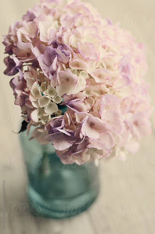 Pink and Purple Hydrangea  by Crissy Mitchell for Stocksy United
