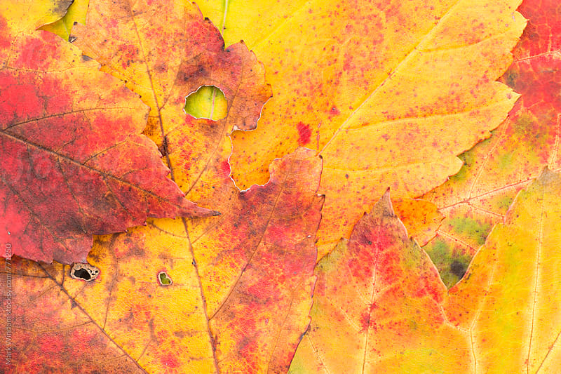 Scarlet Maple leaf collection in Autumn, closeup by Mark Windom for Stocksy United