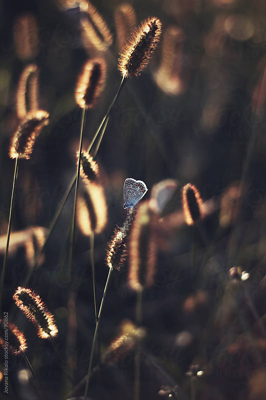 Butterfly on grass in the field by Jovana Rikalo for Stocksy United