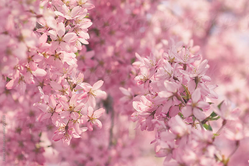 Rising and Falling Cherry Blossoms  by Jason Hill for Stocksy United