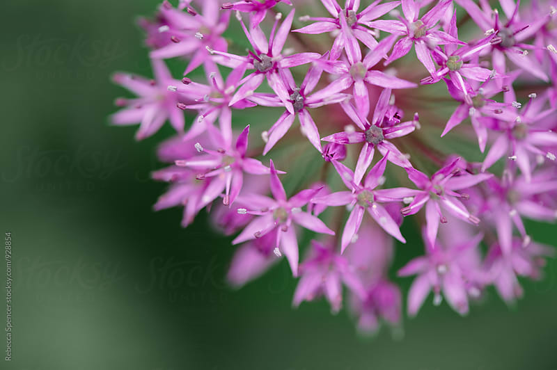 Close up of purple Allium in a garden  by Rebecca Spencer for Stocksy United