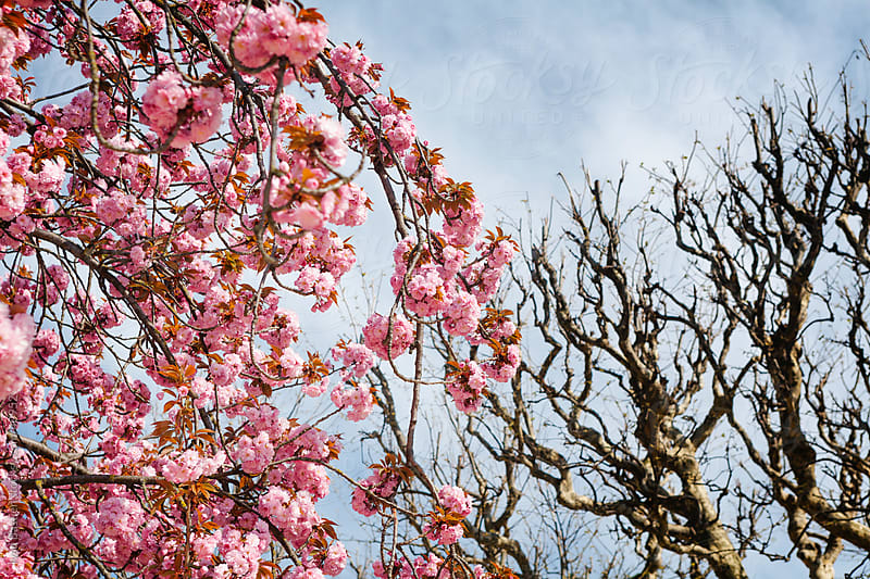 Cherry blossoms and plane trees by Ivan Bastien for Stocksy United