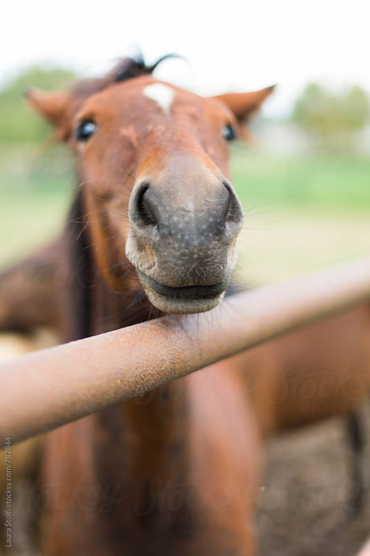 Young brown horse looks at the camera from behind fence by Laura Stolfi for Stocksy United