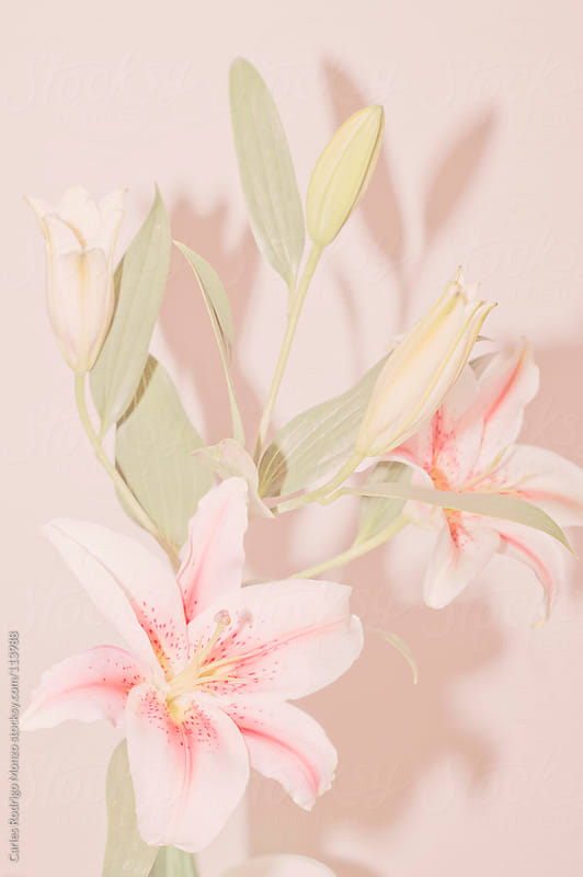 Lilium bouquet in soft pink by Carles Rodrigo Monzo for Stocksy United