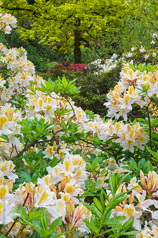 Azaleas and rhododendrons in an arboretum in Spring by Mark Windom for Stocksy United