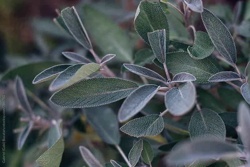 Sage bush leaves by Gabriel (Gabi) Bucataru for Stocksy United