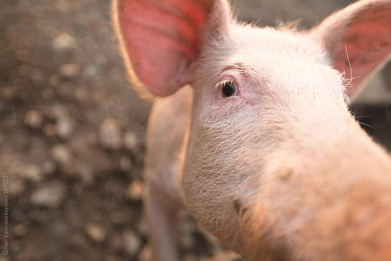 curious pig by Gillian Vann for Stocksy United