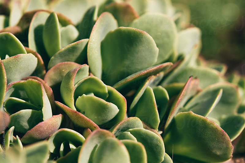 Succulent plants by Adrian Cotiga for Stocksy United