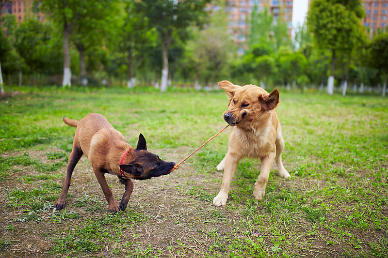 Malinois and golden retriever playing outdoor by Bo Bo for Stocksy United