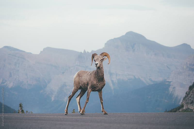 Big Horned Sheep by Dylan Furst for Stocksy United