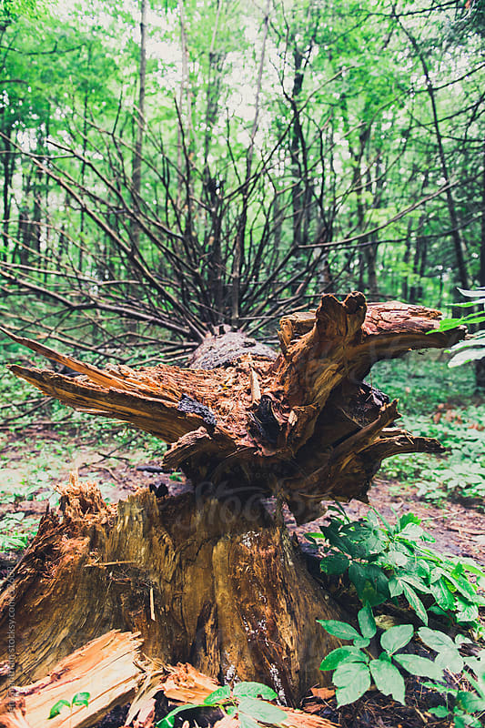 Fallen tree in the forest by Jen Grantham for Stocksy United