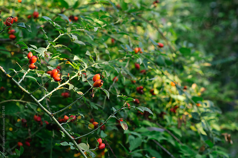 Red rosehip bush by Pixel Stories for Stocksy United