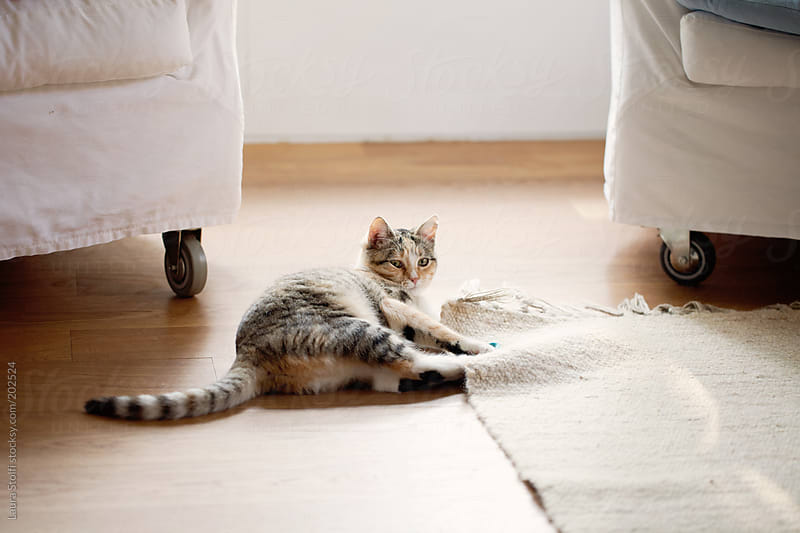 Cat plays with woolen carpet in sunny living room by Laura Stolfi for Stocksy United