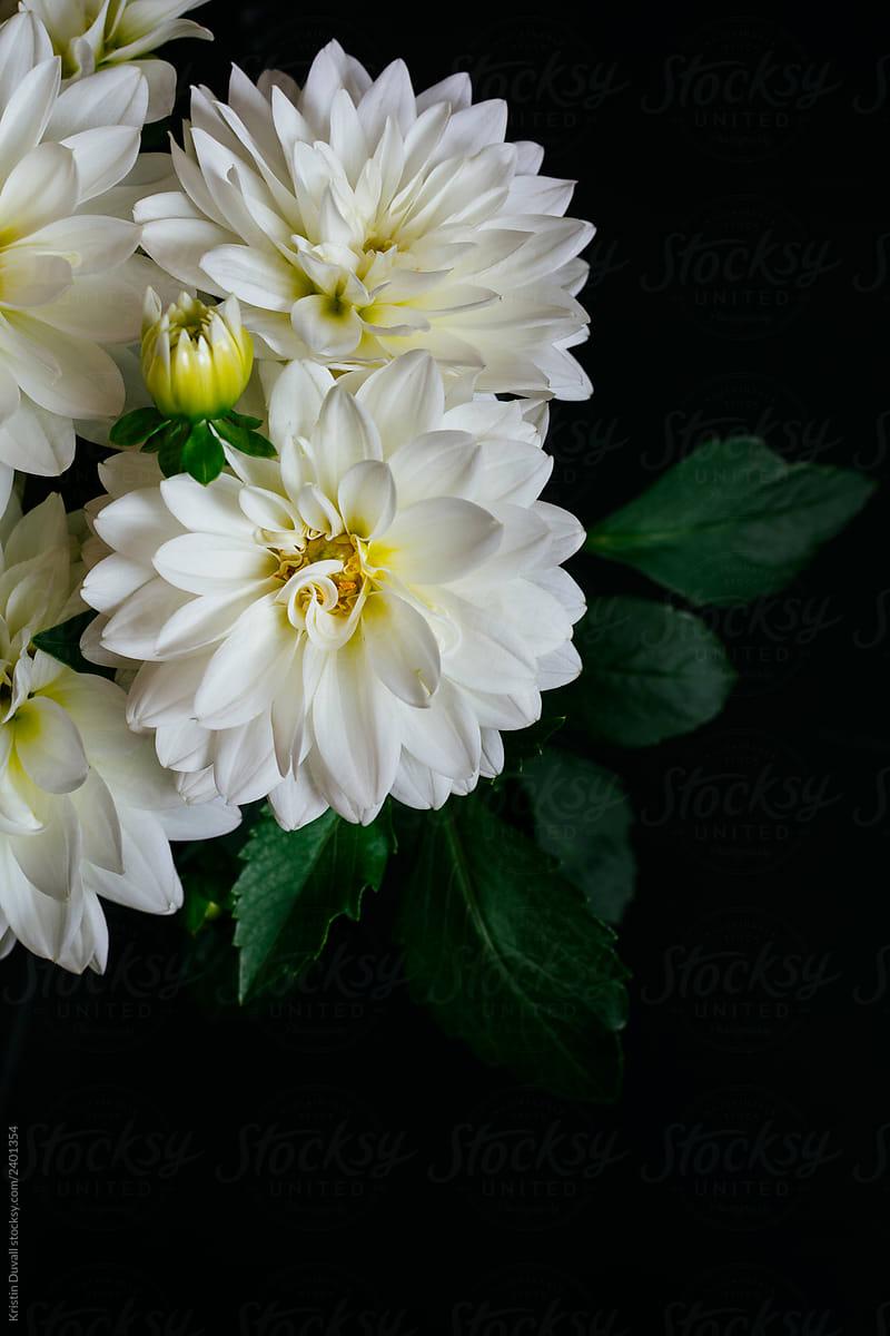 Beautiful White Dahlia Flowers Stocksy United