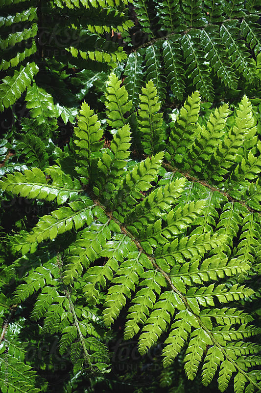 Lush green fern leaves by Marcel for Stocksy United