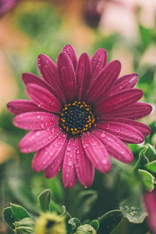 Flowers with waterdrops after rain by Javier Pardina for Stocksy United