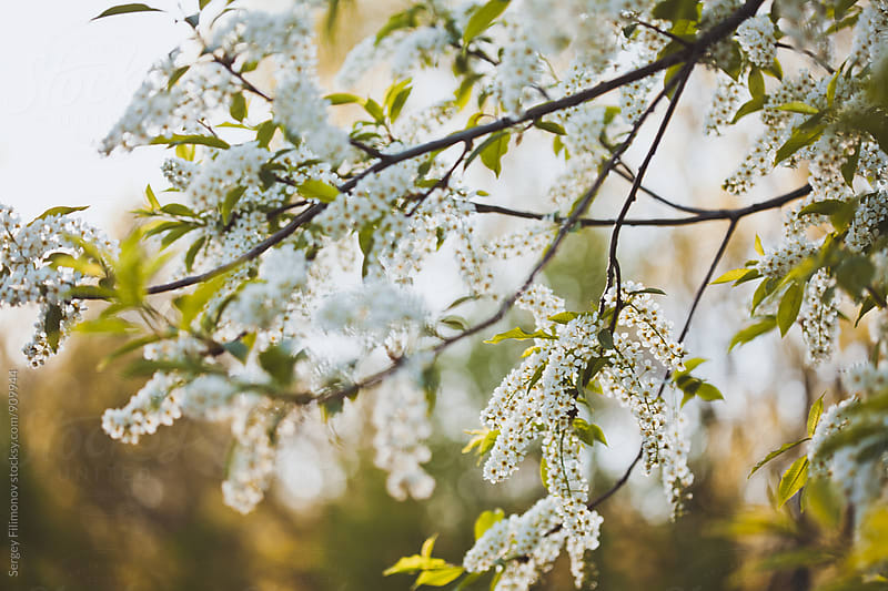 Spring wild cherry blossoms by Sergey Filimonov for Stocksy United
