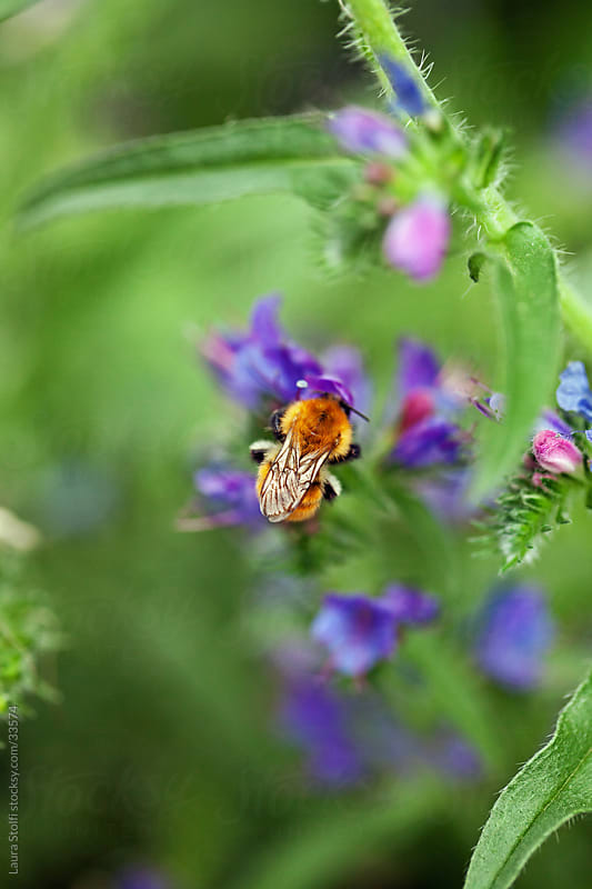 Macro catch bumblebee on Viper's bugloss flower with its closed wings by Laura Stolfi for Stocksy United