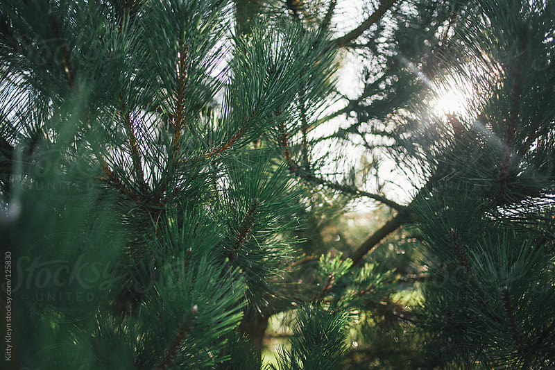 Fir tree in the sun by Kitty Gallannaugh for Stocksy United