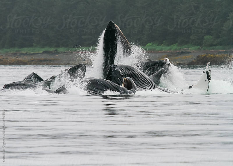 Humpback whales bubble net feeding in Alaska by Cameron Zegers for Stocksy United