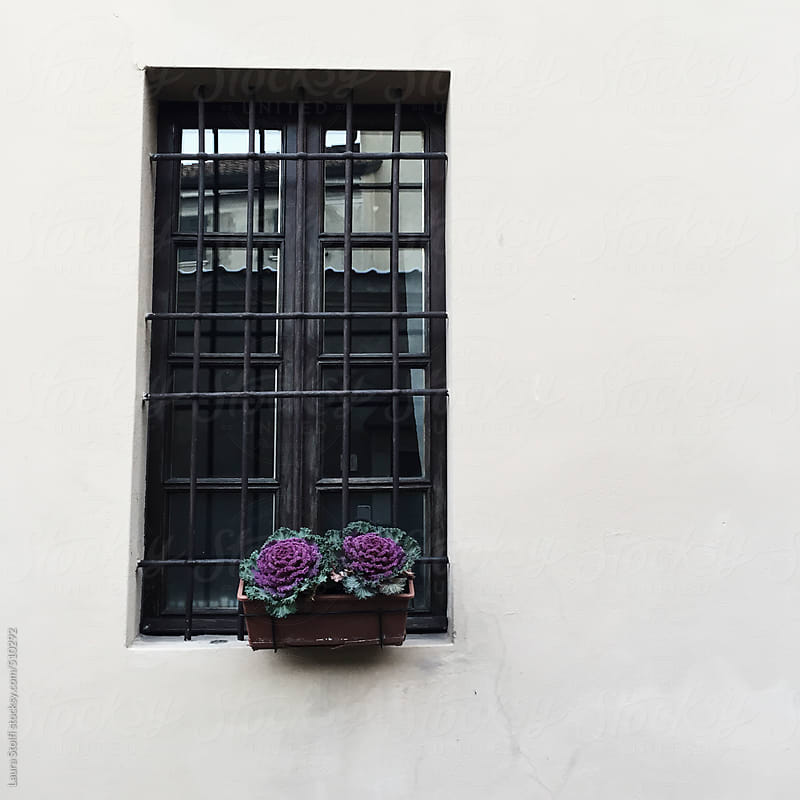 Purple cabbages in bloom decorating a window in italian street by Laura Stolfi for Stocksy United