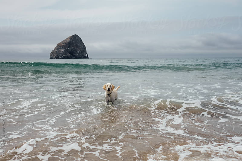 White dog standing in the ocean by Kristine Weilert for Stocksy United