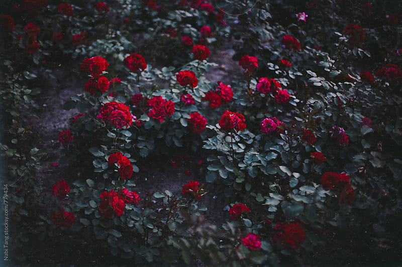 Red rose garden by Nabi Tang for Stocksy United