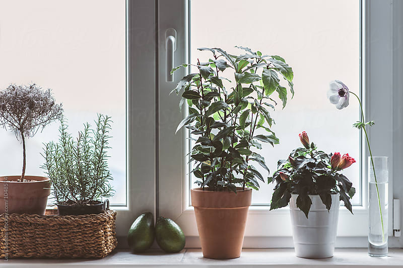 Kitchen window with herbs, flowers and avocados by Lea Csontos for Stocksy United